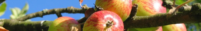 Apple tree bearing fruit
