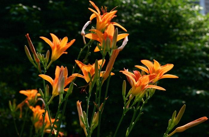 Hemerocallis spp (Daylillies)