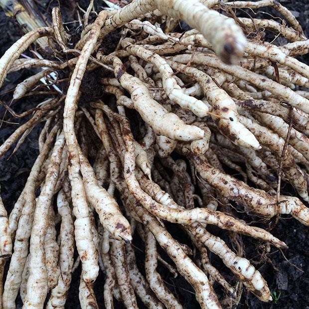 Sium sisarum (Skirret) roots