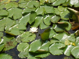 Water Lillie's floating on a pond