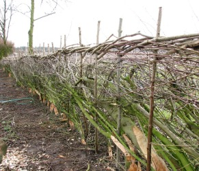 Hedge laying with top retainer