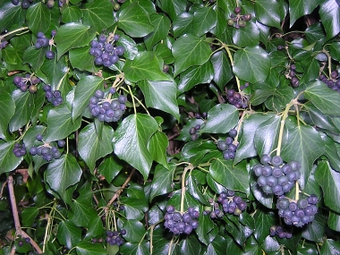 Ivy with berries in winter