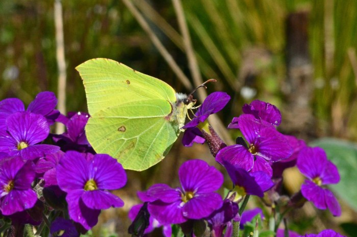 Male Brimstone butterfly on Aubrieta
