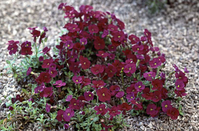 aubrieta red carpet