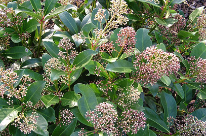 Skimmia japonica 'Fragrans'