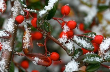 Cotoneaster berries in winter