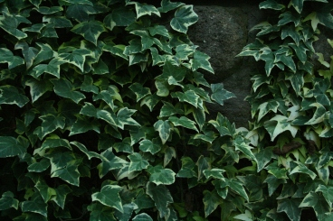 Hedera helix growing up a stone wall