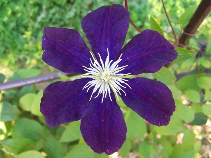 clematis-the-president