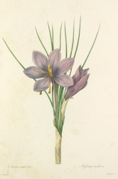 Crocus sativus - RHS