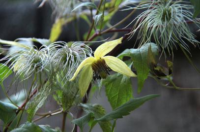 rhs-clematis-serratifolia-01