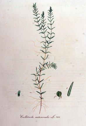 Callitriche hermaphroditica (Water starwort)
