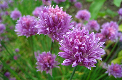 A. schoenoprasum - chives (Image source RHS)