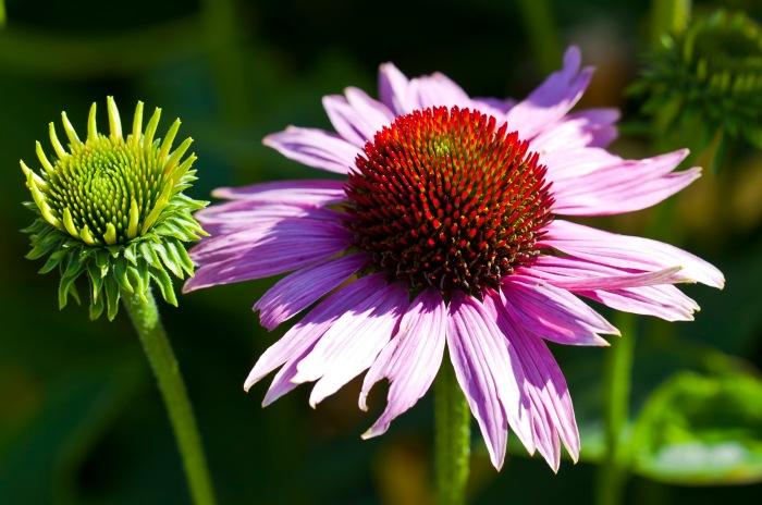 Echinacea-purpurea-01