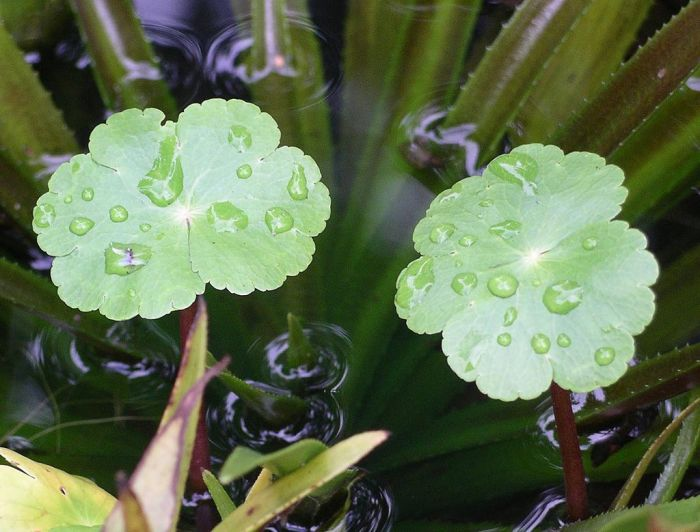 Hydrocotyle_ranunculoides (Water Pennywort)