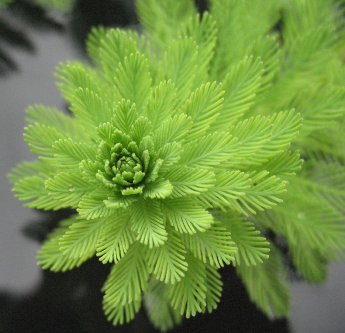 Myriophyllum aquaticum (Parrot's-feather) 800x800px
