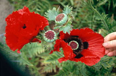 Papaver orientale 'Beauty of Livermere' - RHS