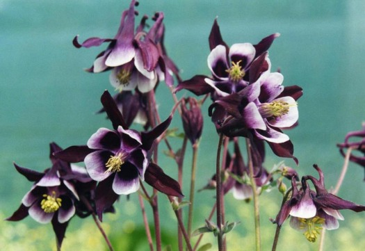 Aquilegia-vulgaris-William-Guiness-01