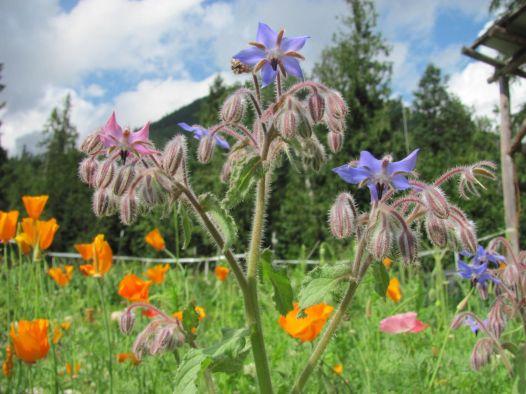 FamilyFoodGarden-b-officinalis-companion-planting-01