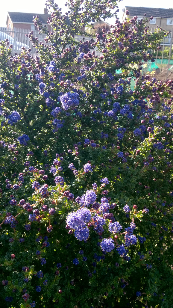 Nitrogen fixing Ceanothus [April 2017][Small]