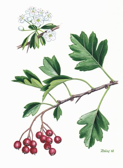 Crataegus monogyna botanical illustration