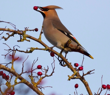 Waxwing enjoying hawthorn berries