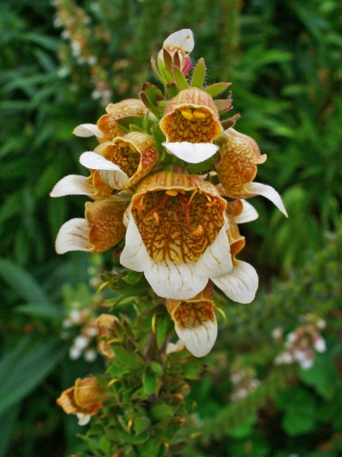 digitalis-lanata-02