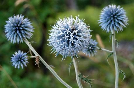 Echinops sphaerocephalus flowers