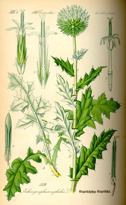 Echinops sphaerocephalus botanical art