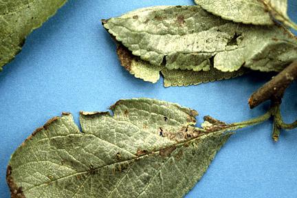 Silver leaf disease [RHS]