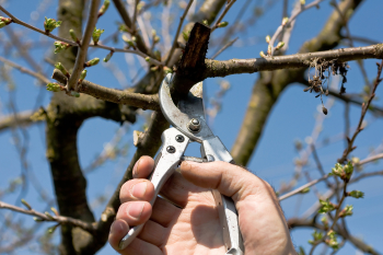 Pruning of a cherry tree