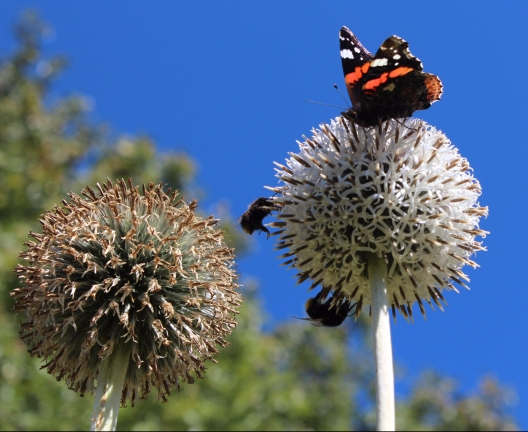 Bumblebees and butterflies visiting Echinops flowers