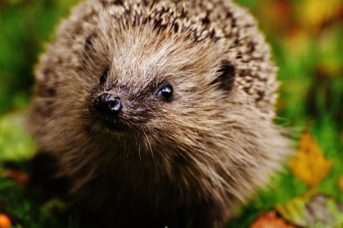 Young hedgehog looks at the camera