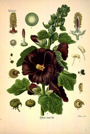Alcea rosea botanical art