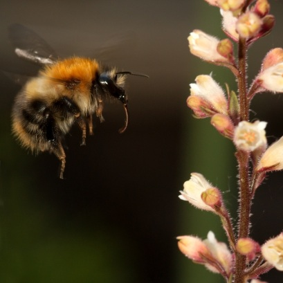 Heuchera flowers being visited by a bumblebee
