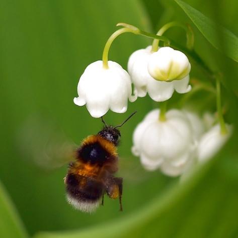A bumblebee visiting a Convallaria majalis flower
