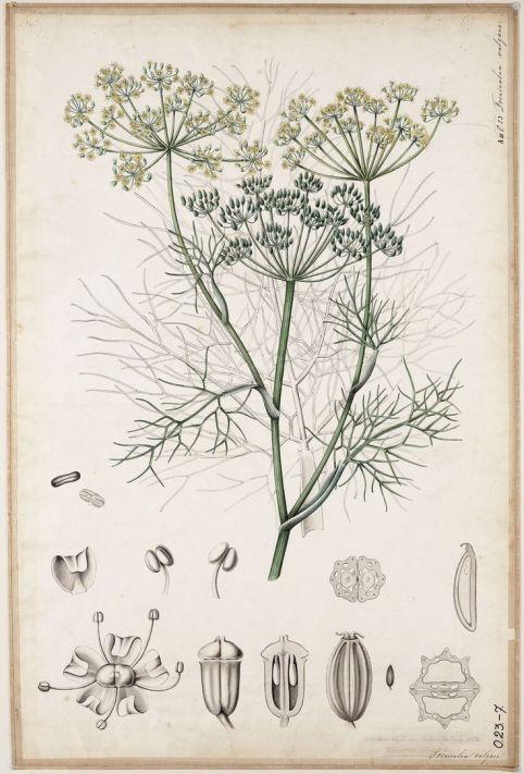 Foeniculum vulgare botanical art