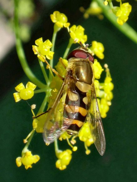 Hoverfly feeding from Foeniculum vulgare