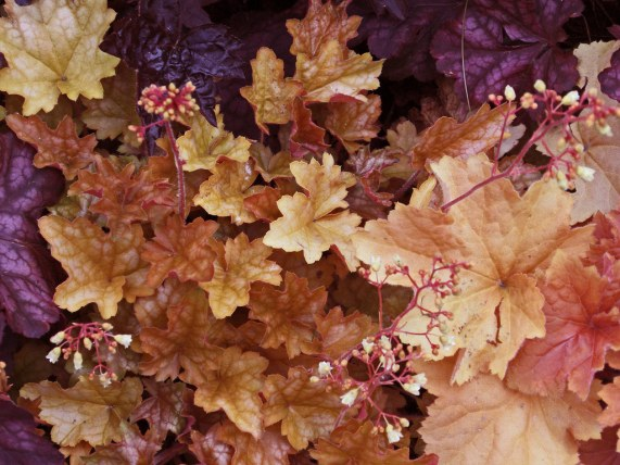 Mix of Heuchera varieties