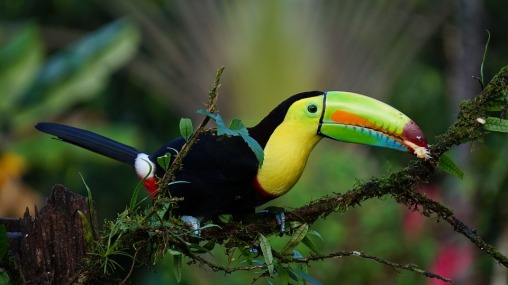 Keel Billed Toucan living in a Costa Rican rainforest