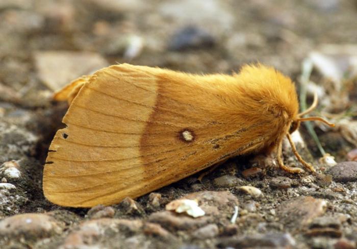 Oak eggar (lasiocampa quercus) moth