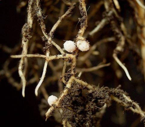 Vicia sepium root nodules
