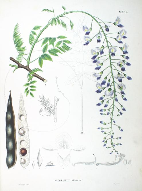 Wisteria sinensis botanical art