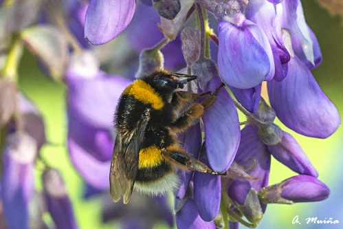 Bumblebee feeding from Wisteria sinensis - A. Muiña, FLICKR