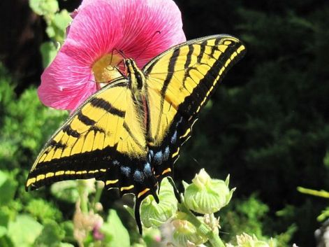 Butterfly feeding on Alcea rosea nectar