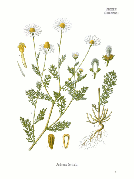 Anthemis nobilis botanical art