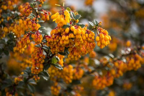 Berberis darwinii in bloom