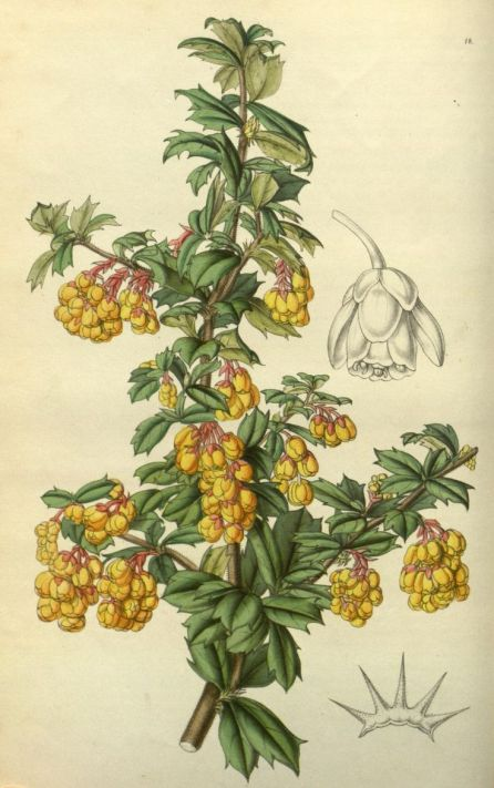 Berberis darwinii botanical illustration