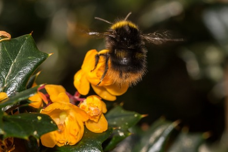 A bumblebee pays a visit to some Berberis darwinii flowers
