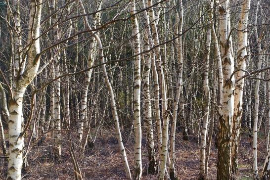 Betula pendula woodland