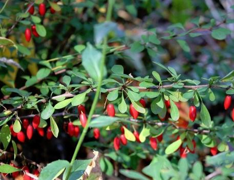 Berberis thunbergii fruiting